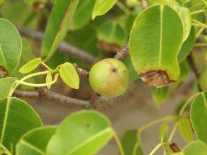 Fruit et feuilles du Mancenillier