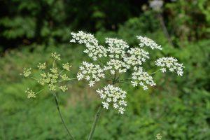 Fleurs de grande cigue mortelle