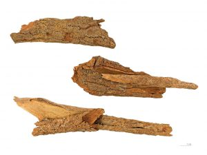 Ecorce aphrodisiaque de bois bandé