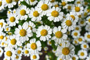 Des fleurs de camomille
